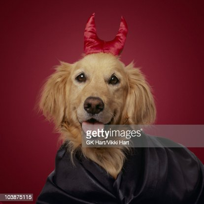 Golden Retriever wearing devil horns on red  : Stock Photo