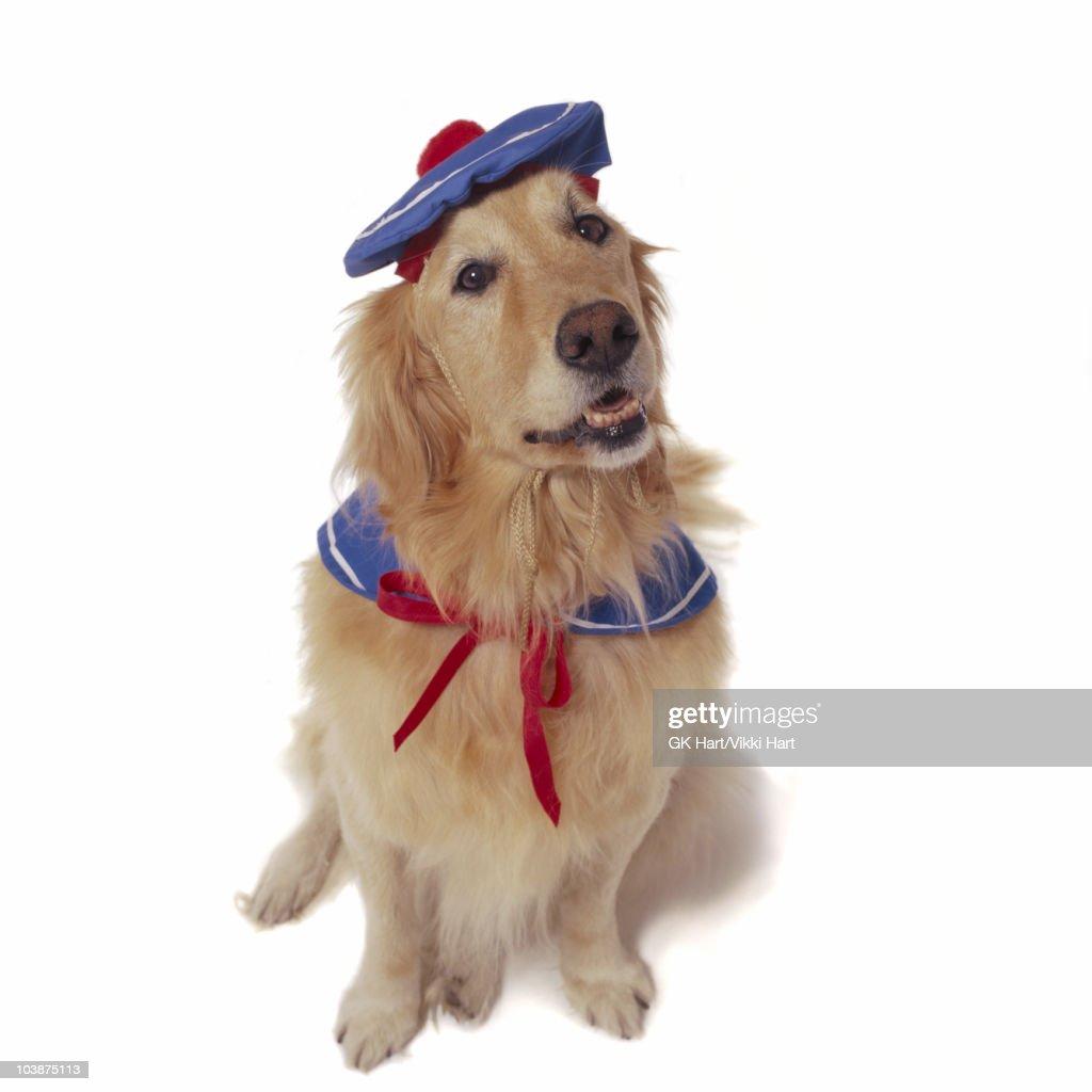 Golden Retriever wearing sailor costume : Stock Photo