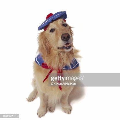 Golden Retriever wearing sailor costume : Stock-Foto