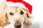 Golden retriever with christmas hat with white background in studio