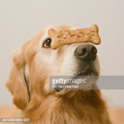 Golden Retriever with dog biscuit on snout, close-up : Stock Photo