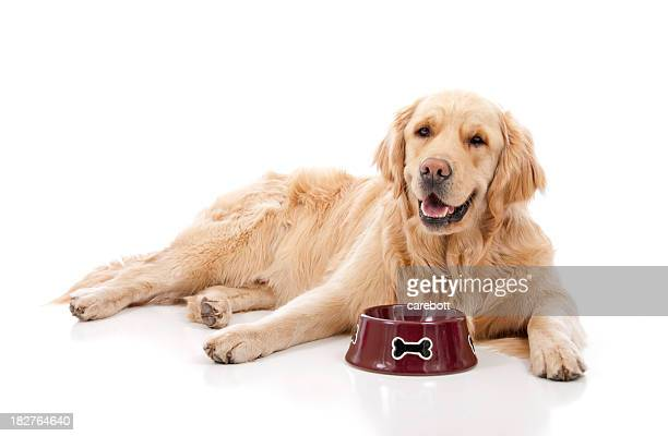 Golden Retriever With Food Dish