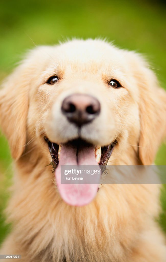 Golden retriever with its tongue sticking out : Stock Photo