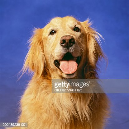 Golden retriever with mouth open : Stock Photo