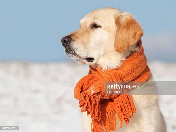 Golden Retriever with scarf