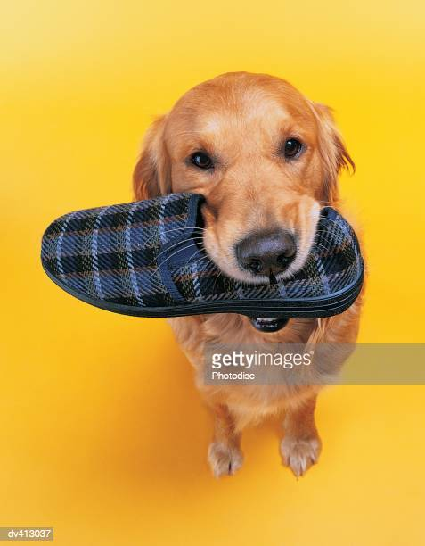 Golden Retriever with slipper in mouth