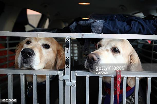 Golden Retrievers arrive in a car on the first day of Crufts dog show at the National Exhibition Centre on March 5 2015 in Birmingham England First...