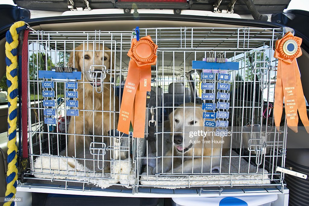 Golden Retrievers in crates with ribbons : Stock Photo