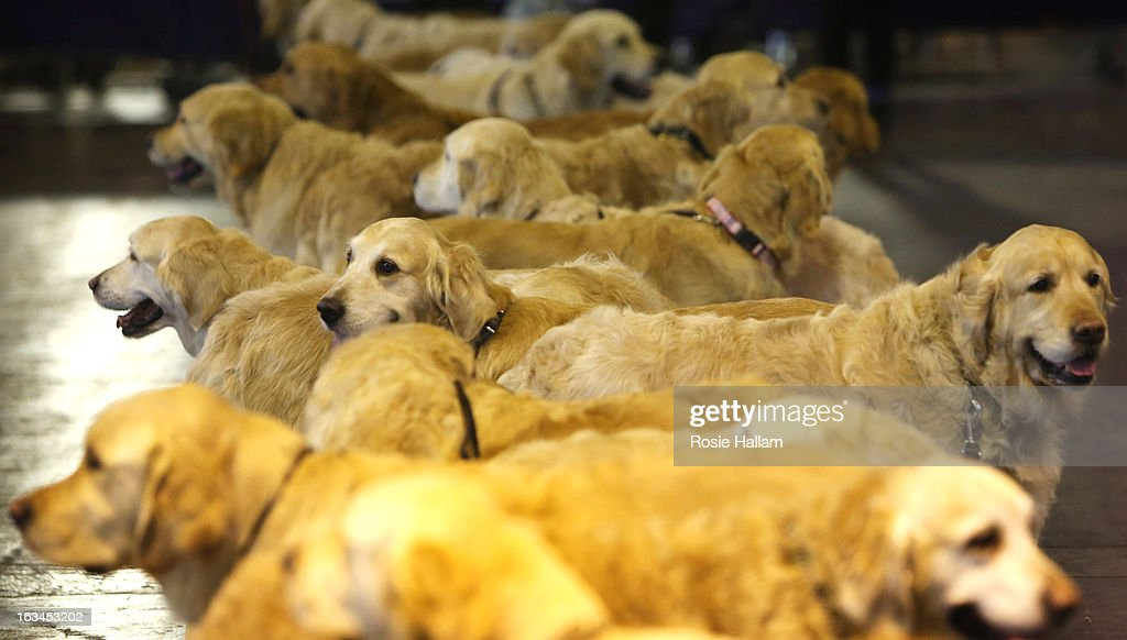 Golden retrievers meet up during the final day at Crufts Dog Show on March 10, 2013 in Birmingham, England. During this year's four-day competition over 22,000 dogs and their owners will vie for a variety of accolades but ultimately seeking the coveted 'Best In Show'.