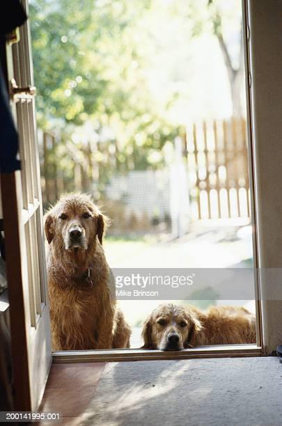 Golden retrievers waiting at back door of house