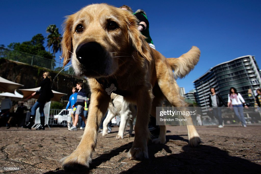 Golden Retriver attends the 'Music for Dogs' concert for canines as part of the Vivid LIVE festival at the Sydney Opera House forecourt on June 5...