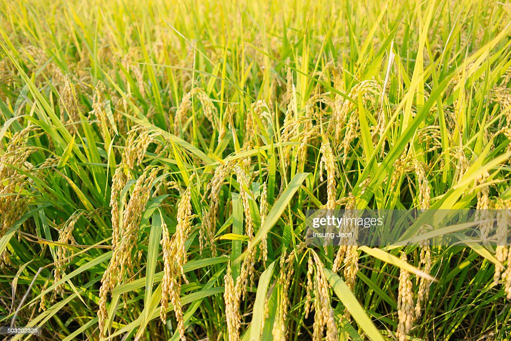 Golden rice in the farm