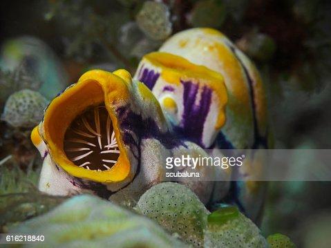Golden Sea Squirt, Gold-Seescheide (Polycarpa aurata) : Stock Photo
