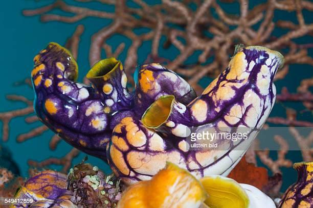 Golden SeaSquirt Polycarpa aurata Raja Ampat West Papua Indonesia