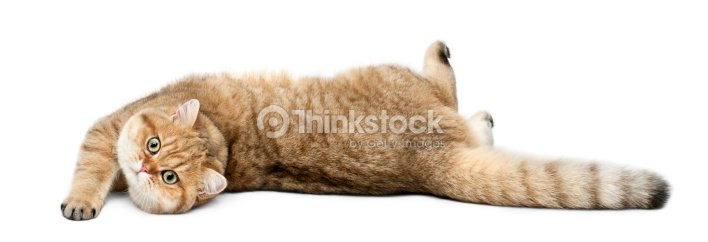 Golden Shaded British Shorthair 7 Months Old Stock Photo