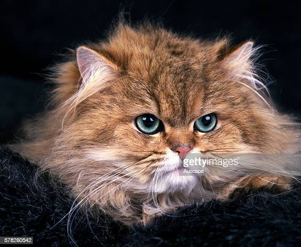 Golden Shaded Persian cat Felis catus portrait studio photograph