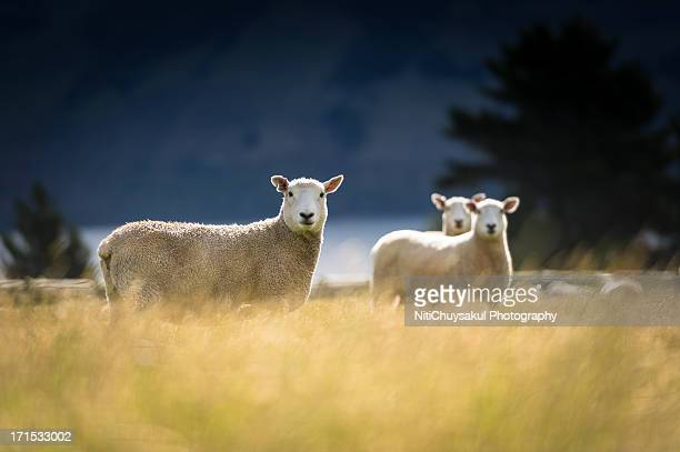 Golden Sheep field