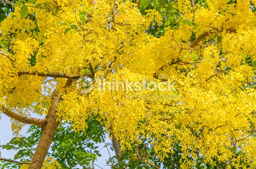 Golden Shower Tree Beautiful Yellow Flower Name Is Ratchaphruek