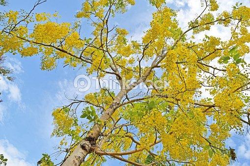 Golden shower tree beautiful yellow flower name is ratchaphruek golden shower tree beautiful yellow flower name is ratchaphruek stock photo mightylinksfo