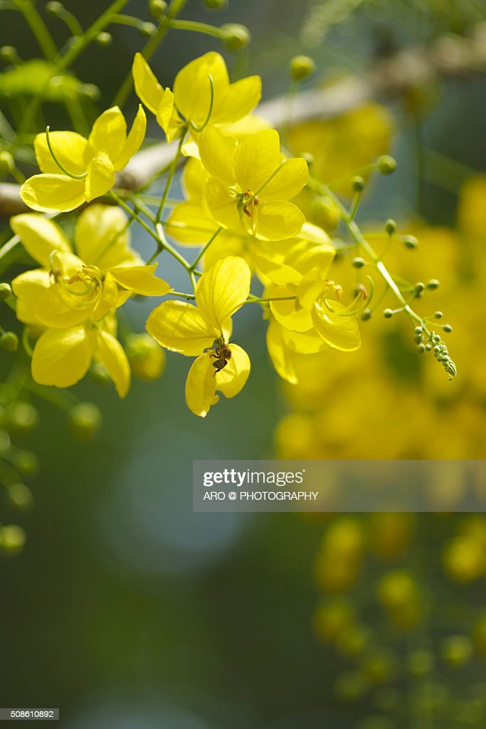 Golden Shower Tree : Stock Photo