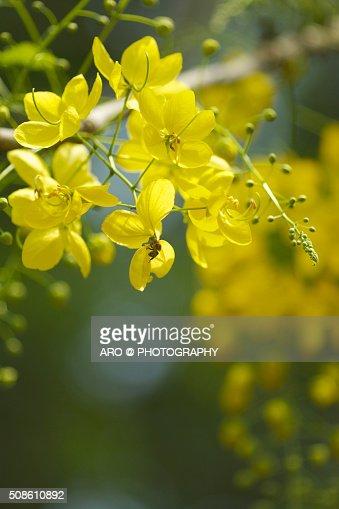Golden Shower Tree : Stock Photo