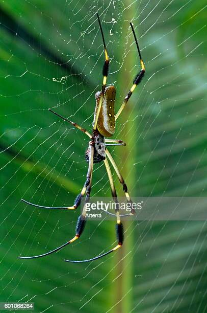 Golden silk orb spider / Banana spider on web Central America