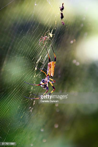 Golden silk orb weaver with prey