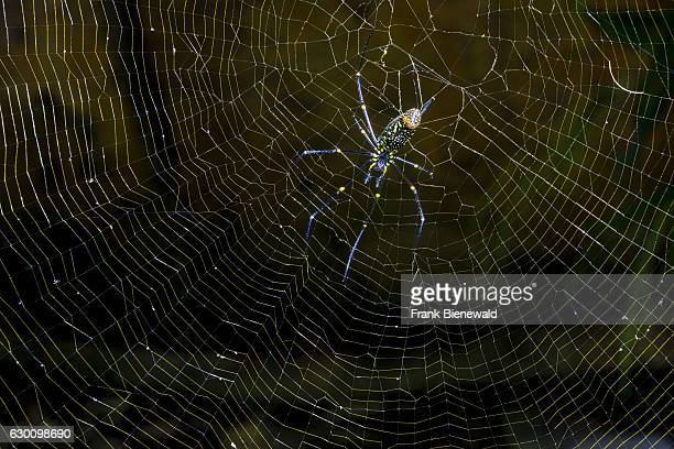 Golden Silk OrbWeavers a big spider hanging in its spider web
