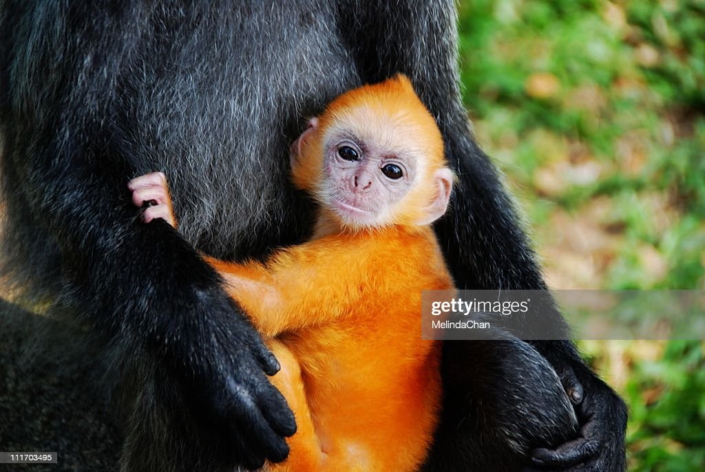 Golden Silvery Lutung baby : Stock Photo