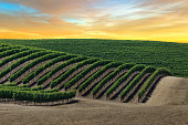Golden skies over vineyard at sunrise in Napa Valley, California