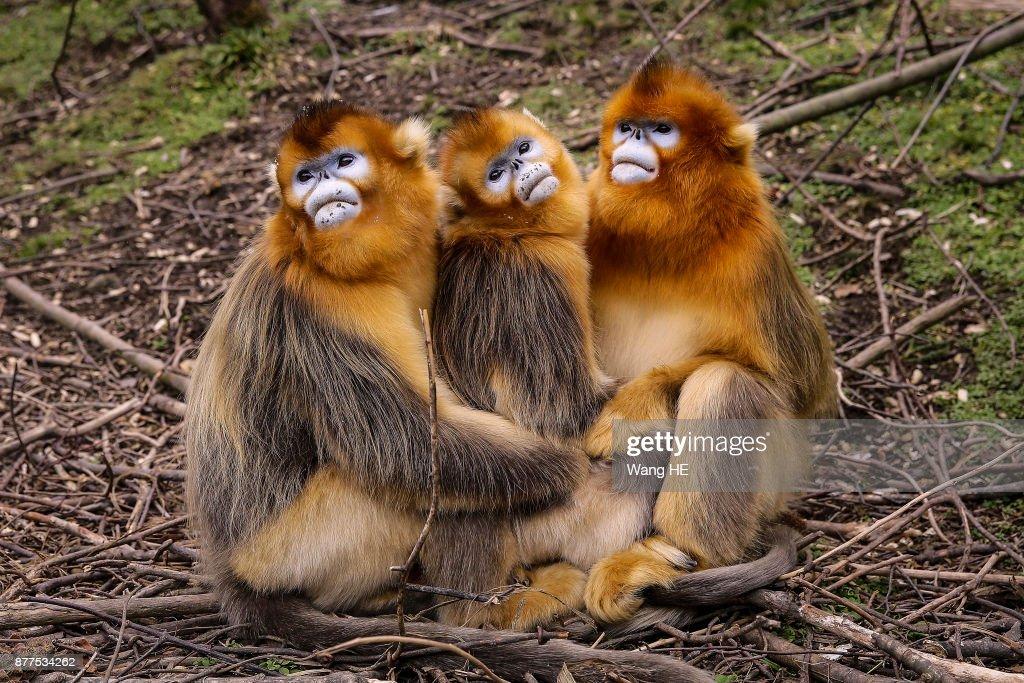 Snub-nosed Monkeys In Shennongjia
