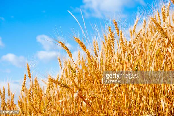 Golden Summer Corn Crop against Blue Sky Background