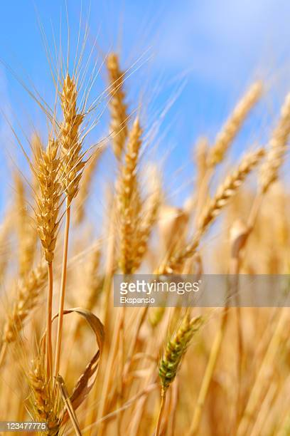 Golden Summer Wheat Crop against Blue Sky Background
