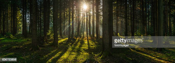 Golden sun beams streaming through idyllic wilderness pine forest panorama