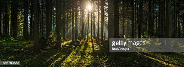 Golden sun beams streaming through idyllic wilderness pine forest panorama