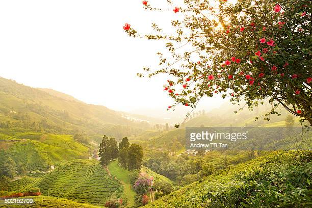 Golden sunlight over tea plantation