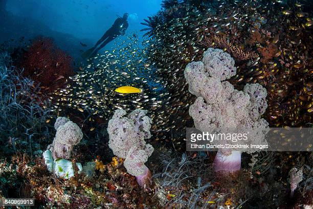 Golden sweepers surround soft corals in Indonesia.
