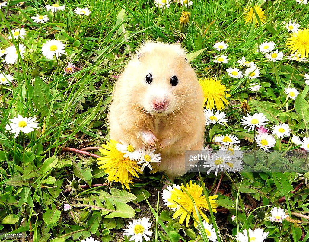 Golden syrian hamster on a spring meadow : Stock Photo