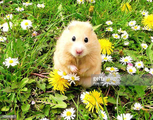 Golden syrian hamster on a spring meadow