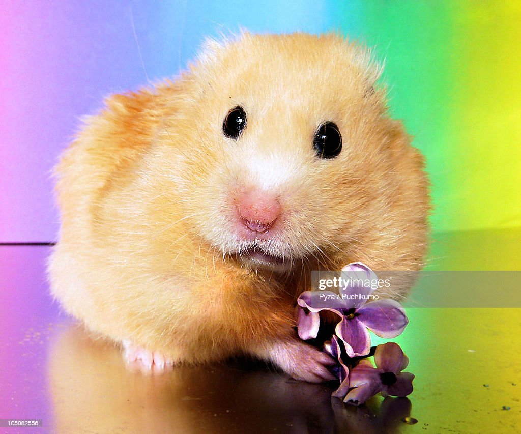 Golden syrian hamster posing with a spring flower : Stock Photo