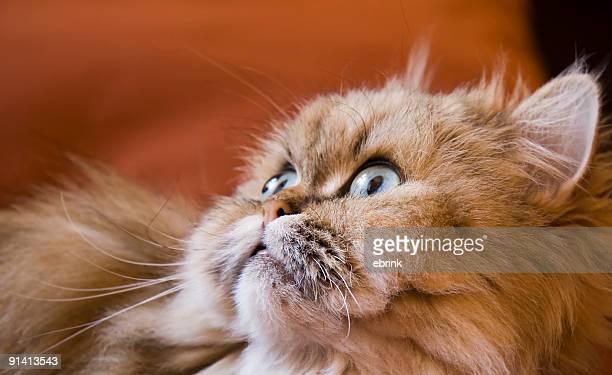 Golden Tabby Persian cat