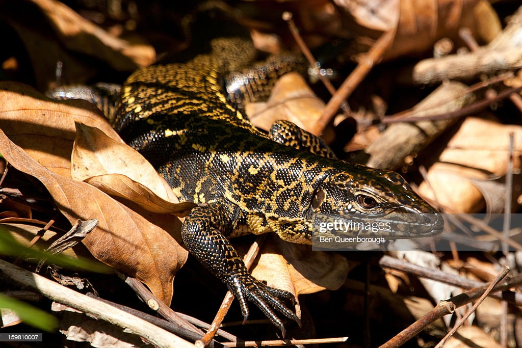 A Golden Tegu hides in the leaf litter : Stock Photo