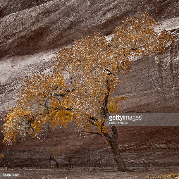 Golden tree, Canyon de Chelly, Arizona, USA