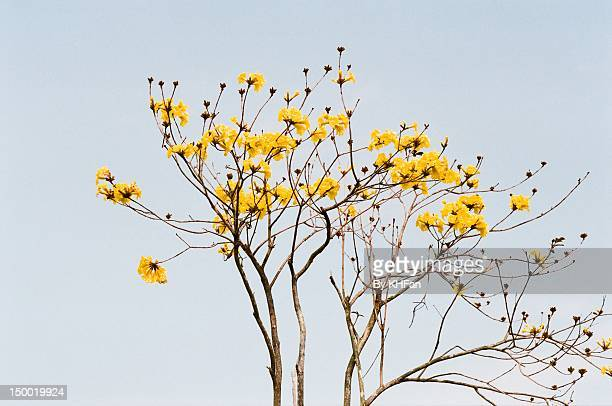 Golden trumpet tree