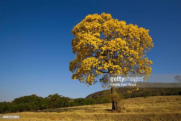 Golden Trumpet Tree (Ip? Amarelo)