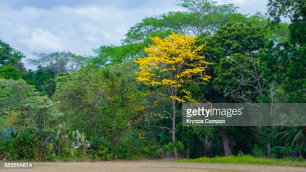 Golden Trumpet Tree surrounded by green