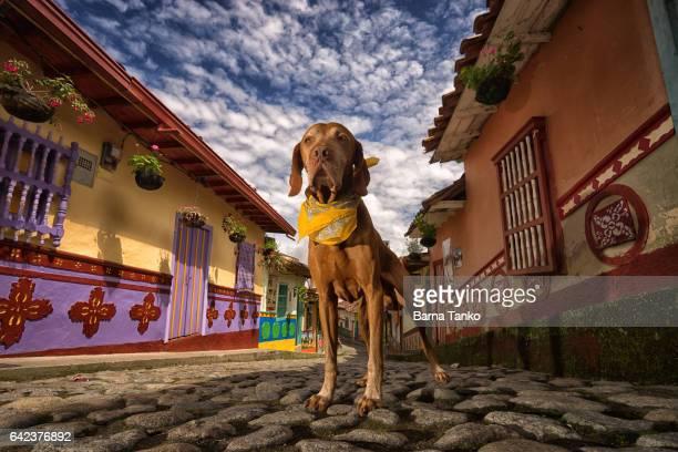 golden vizsla dog in Colombia