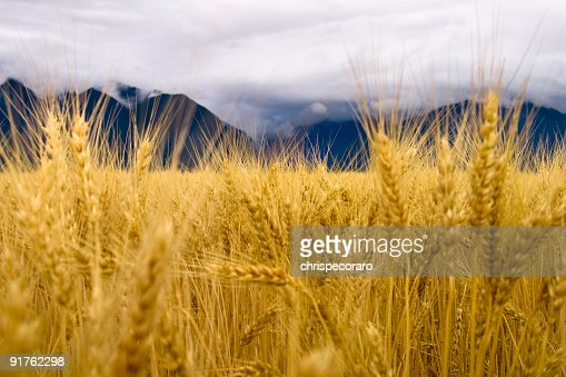 Golden Wheat and the Rocky Mountains