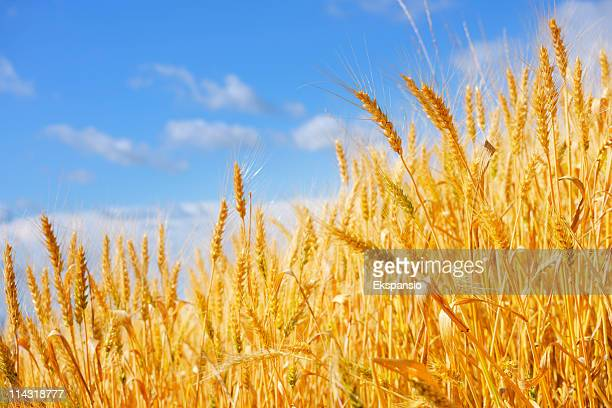 Golden wheat crops against a blue sky background in summer