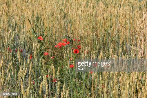 Golden wheat field : Stock-Foto